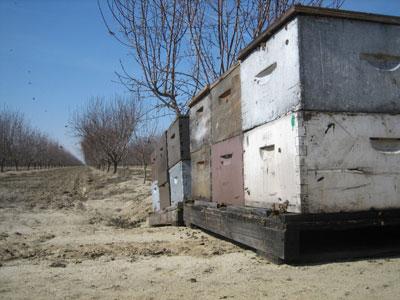 almond_hives