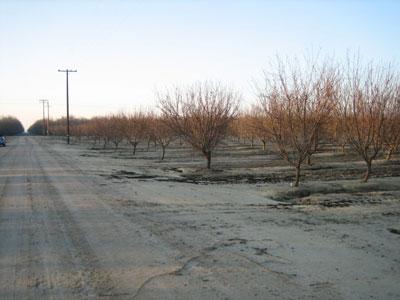 almonds_trees