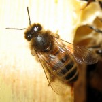 bee_close_up