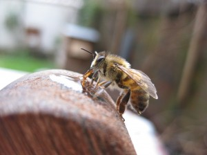 An urban bee out in Jan 2011