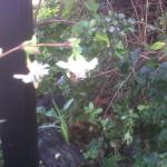 whiteflowerhoneybee3