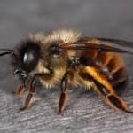 redmansonbee